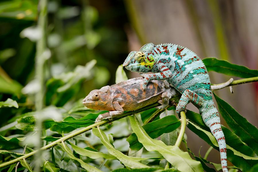IMAGE: http://www.michaelangstphotography.ch/wp-content/uploads/2013/10/Chameleons1.jpg