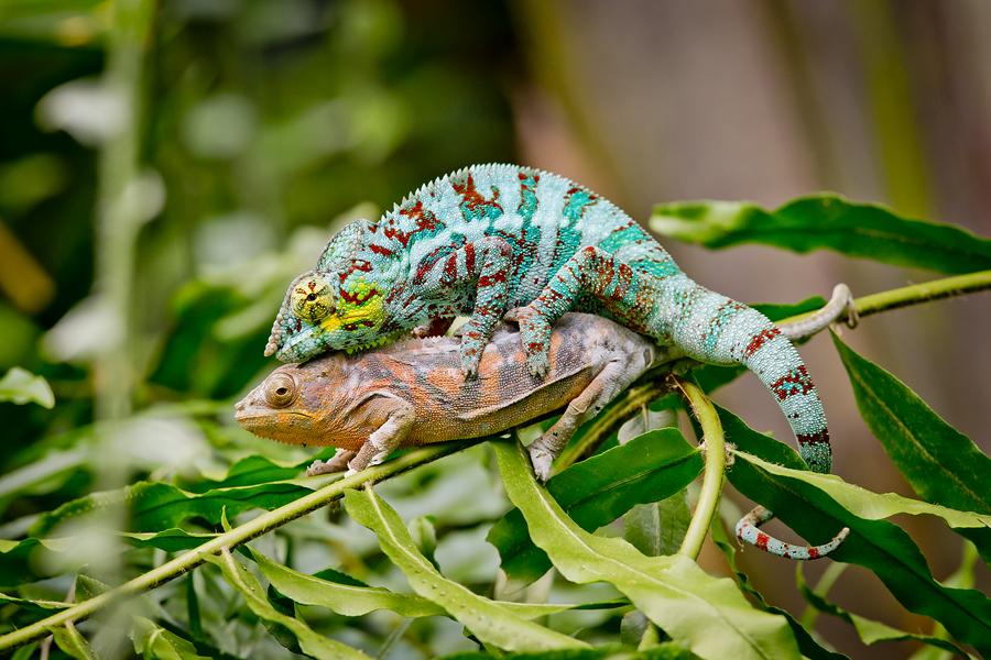 IMAGE: http://www.michaelangstphotography.ch/wp-content/uploads/2013/10/Chameleons2.jpg